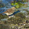 Water Pipit, Autumn/Winter 2012 (November), 8 of 9