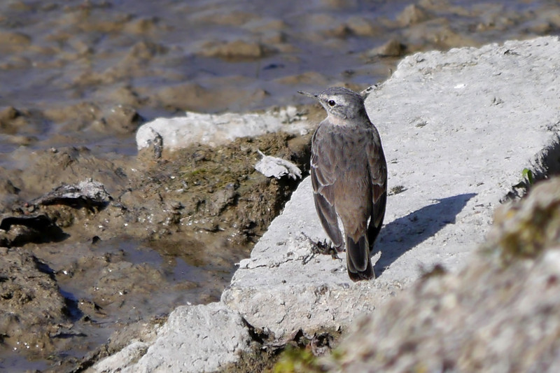 Water Pipit, Spring 2012 (March)