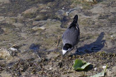 Pied Wagtail (Motacilla alba yarrelli) [female], Startop's End Reservoir, Buckinghamshire, 28/03/2012.