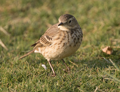 American Pipit  Mission Bay 2018 11 20-1.CR2
