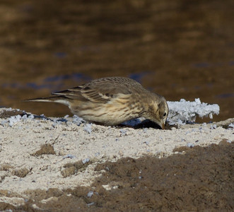 American Pipit Mammoth Lakes  2013 12 16-3.CR2