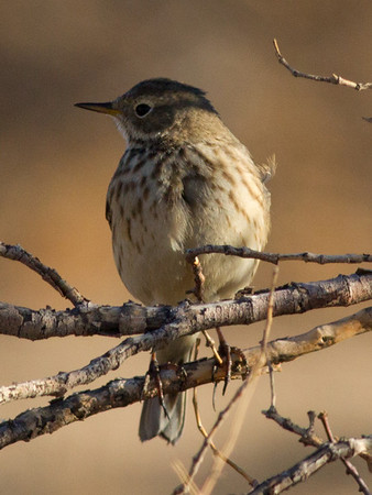 American Pipit  Pearsonville  2012 12 14 (1 of 1).CR2