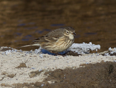 American Pipit Mammoth Lakes  2013 12 16-5.CR2