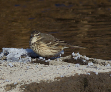 American Pipit Mammoth Lakes  2013 12 16-2.CR2
