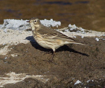 American Pipit Mammoth Lakes  2013 12 16-6.CR2