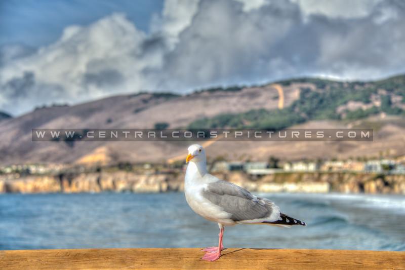 pismo pier seagull 7758