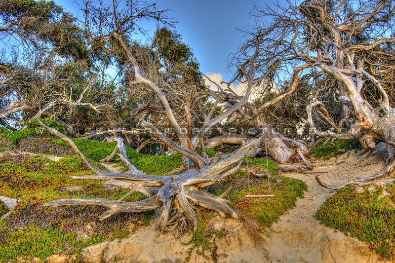 pismo trees 6233