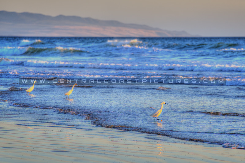 pismo beach egrets 6855