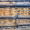 pismo beach egret 6852