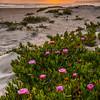 pismo beach flowers-6053