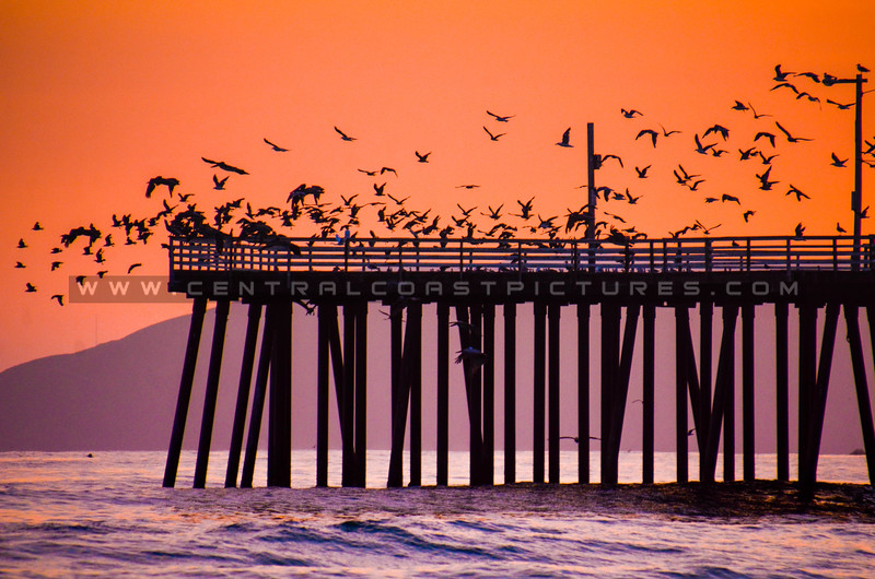 pismo pier birds-7887
