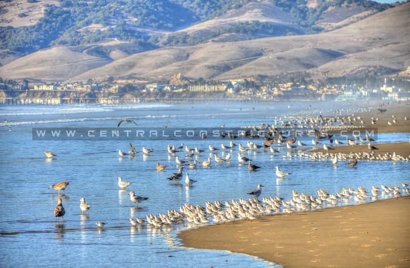 pismo-beach-birds_0293