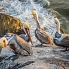 pismo pelicans-1320