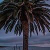 pismo palm tree 5457