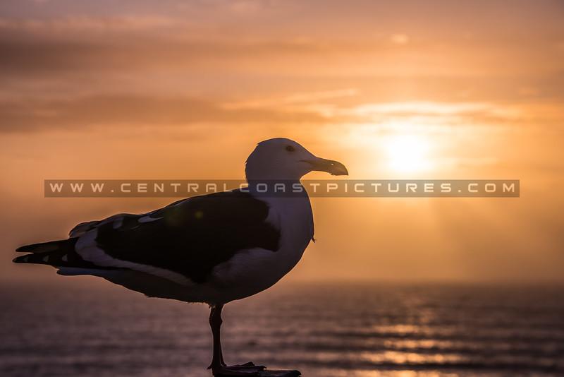 seagull sunrays-1298