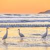 Pismo-Beach-herons-2024