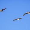 pelicans 5190