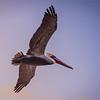 pismo pelican-1339