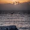 pismo pelican-1335-