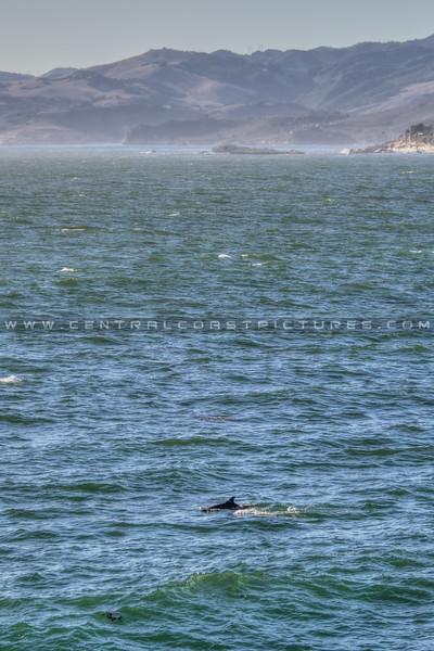 pismo dolphin 5136