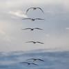 pismo pelicans 4053