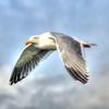 seagull flying 7659