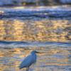 pismo beach egret 6851