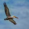 pismo pelican flying 7640