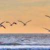 pismo seagulls 9260