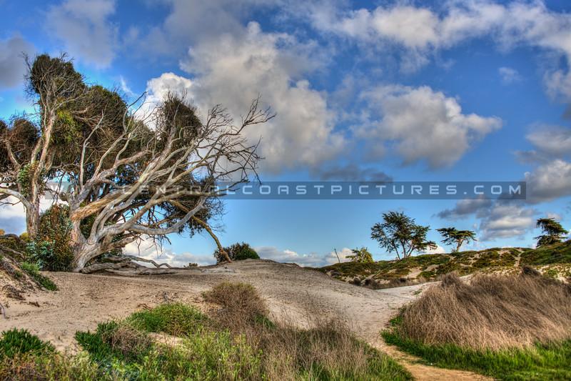 pismo trees 6099