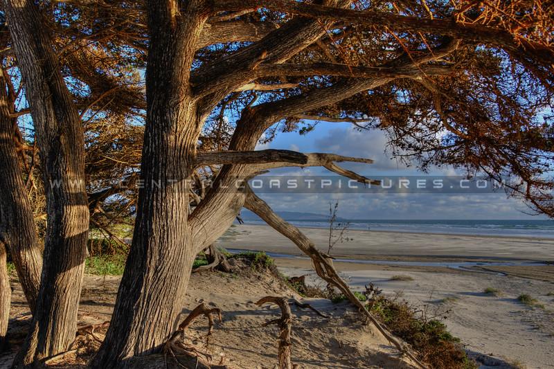 pismo trees 6149