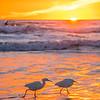 pismo egrets 6978