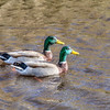 ducks 6066