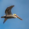pismo pelican flying 7641