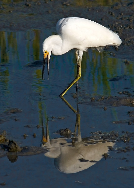 Snowy Egret using his foot to stir up fish so he can grab them for his dinner.