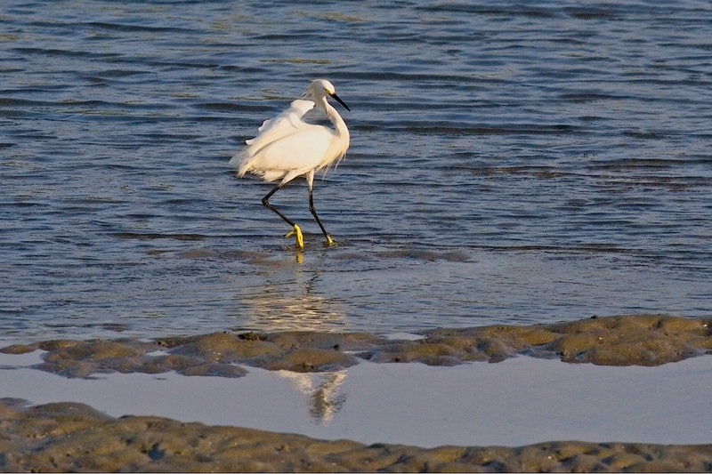 Snowy Egret: love dem birds!