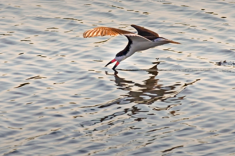 Skimmer using lower beak to catch dinner