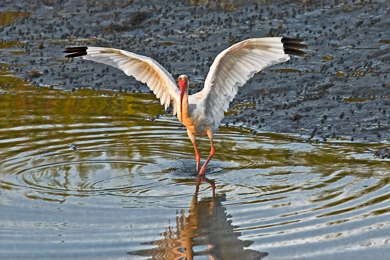 """An earlier, just slightly, shot of a """"late leaving"""" Ibis.  He was fixing to leave at this point."""