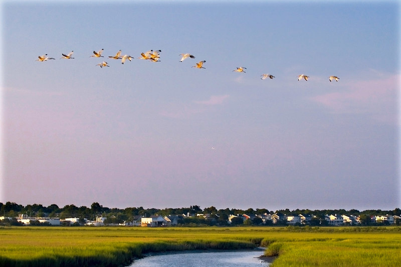 Regular evening Ibis flight!  <br /> <br /> Every evening they appear to go the same place in flocks.  However which place they fly over varies.  They have been a project om mine along with the Skimmer.  This is the best so far, it seems to help that there is land in the photo.