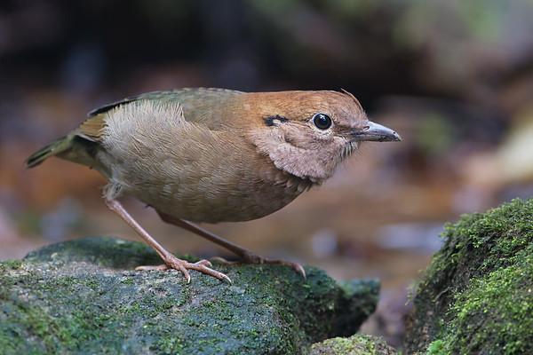 Rusty-naped Pitta female