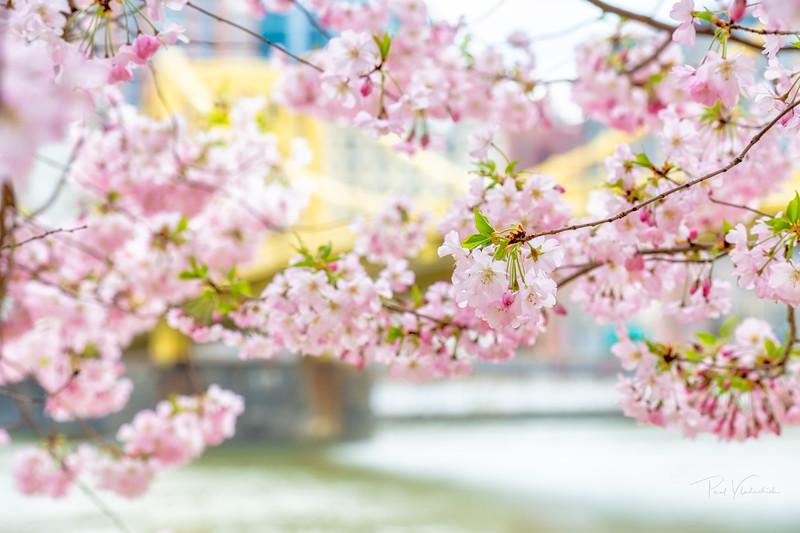 Spring Blossoms #2
