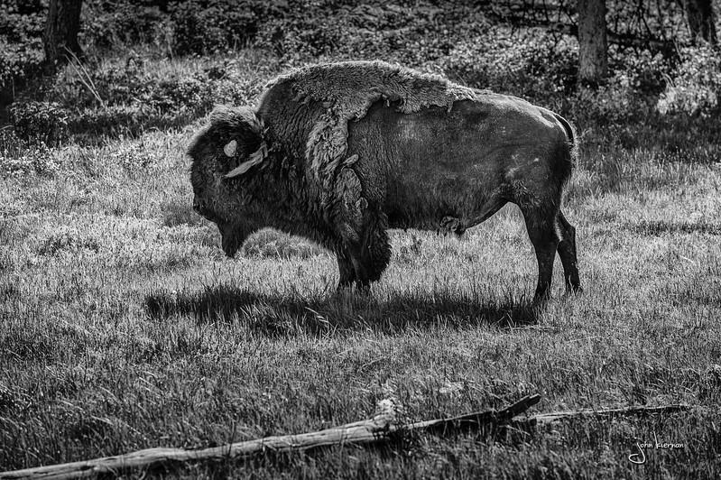 Scruffy Buffalo
