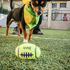 Adopt this guy!! :) Bandit (A366083) 1-year-old tricolor Min Pin/ Chihuahua mix