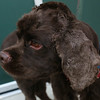 ID#A359839  Male, brown Cocker Spaniel.  About 5 years old.  At the shelter since Jul 03, 2014.