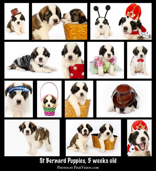 collage_st_bernards