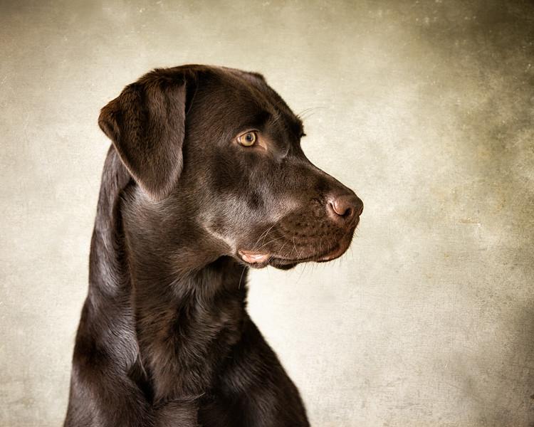 Pippa (Chocolate Labrador)