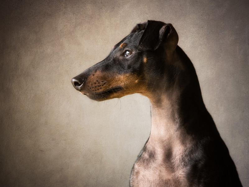 Buddy (Manchester Terrier)