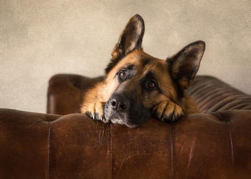 Kobe (German Shepherd Dog)