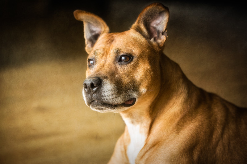 Skye (Staffordshire Bull Terrier)