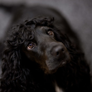 Juno - black Cocker Spaniel